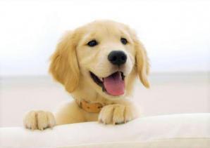 cagnolino labrador felice
